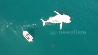 Shark circles carcass of a whale off Australian coast - Video