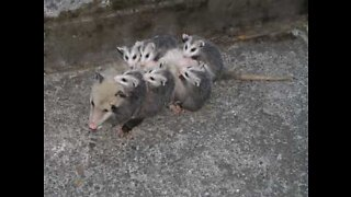 Family of opossums found in BBQ grill