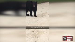 Bear terrorizing Sebring neighborhood - Video