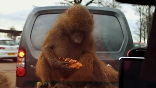 Crazy Baboons Jump on Safari Visitor's Car - Video