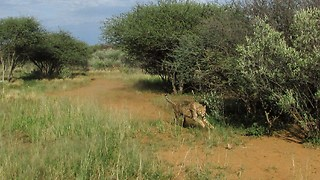 Making rescued cheetahs run! - Video