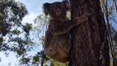 Adorable Koala is Released Back into the Wild