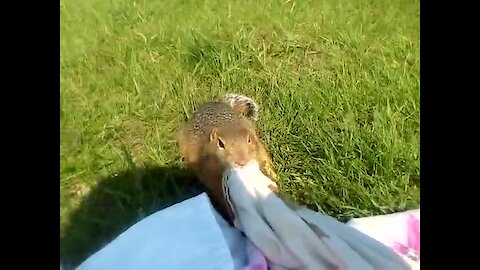 Wild gopher hilariously tugs on picnic blanket