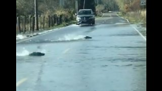 Like a Fish Out of Water: Heavy Rains Carry Salmon Across Road Near Skokomish River - Video