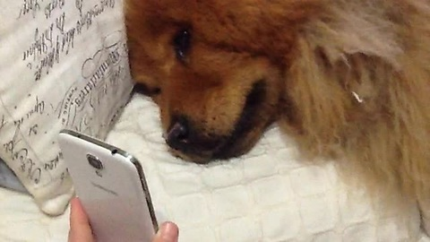 Chow Chow Is Sad Her Owner Is Away, Facetimes With Her