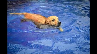 Dog relaxes in swimming pool like a human