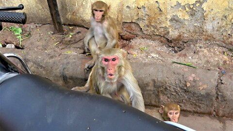 Angry monkey shows displeasure over being video taped by tourists