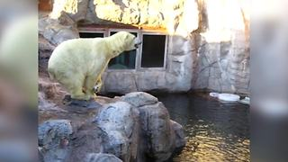 """Polar Bear Entertains Crowd in Zoo"""