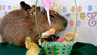 A Capybara Celebrates Easter with Chicks and Ducklings - Video