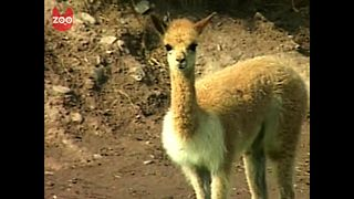 Cute Peruvian Vicunas - Video