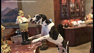 Protective Great Dane Doesn't Like The Stranger In The House