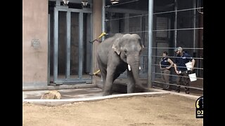 You Spin Me Right Round: Elephant at Denver Zoo Learns to Twist