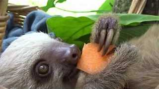 Adorable Sloths Munch on Some Tasty carrots - Video