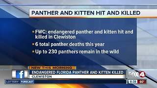 Endangered Florida panther, kitten killed by vehicle
