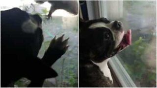 This dog loves watching squirrels from the window