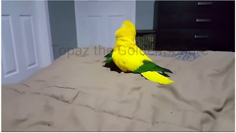 Golden Conure Flaunts Epic Dance Moves Rocking To Impress Partner