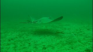 Halibut and Stingray at Smugglers Underwater Drone