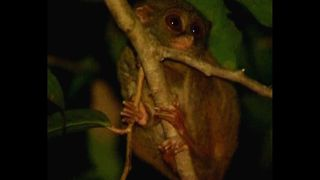 Tiny Monkey Faces Extinction - Video