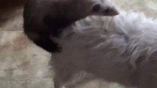 An Unusual Friendship Between A Dog And A Ferret - Video