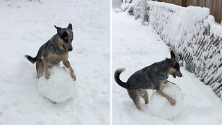 Excitable dog learns to roll up snowball