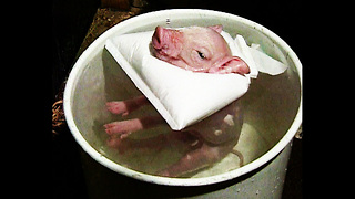 Piggy Gets Warm Bath - Video