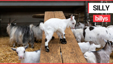 Adorable baby goats who love nothing more than playing on the slide in their adventure playground