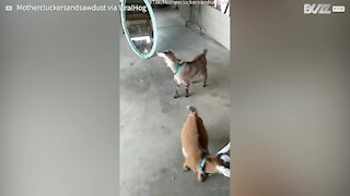 Goat attacks its own reflection - 1
