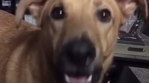 "Dog delivers ""siren"" howl after owner says ""I love you"""