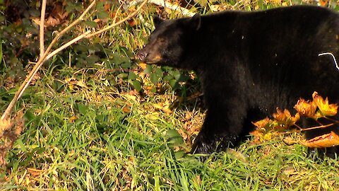 Bears and Salmon Near Your Back Door, An Amazing Cycle of Life