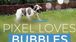 French Bulldog Jumps With Joy for Bubbles in Garden - Video