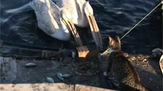 Furious cat protects fish stash from greedy pelicans