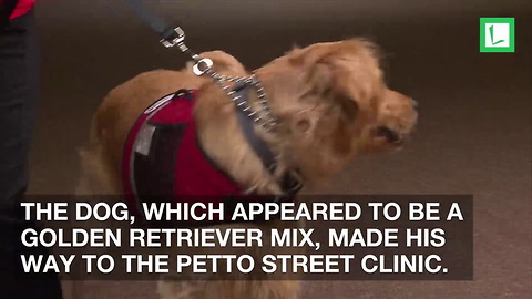 Injured Golden Retriever Takes Himself to Vet. Clinic Finds Him Pawing at Door for Help