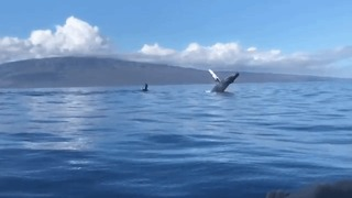 Slow-Motion Video Shows 2 Whales Breaching in Hawaii - Video