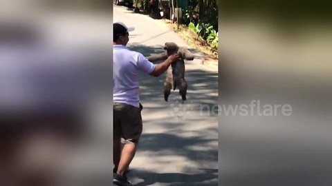 Sloth needs a lift from passing driver to help cross the road