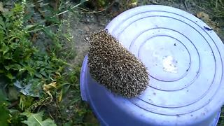 Heroic man rescues hedgehog doomed to die  - Video
