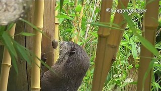 Otter Playing With Stone Is Otterly Adorable - Video