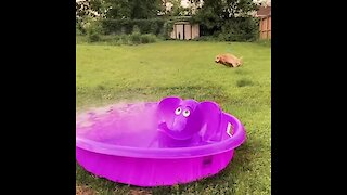 Dog sees pool getting filled, performs zoomie celebration