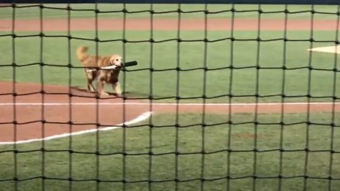 What a retriever! Meet the helpful hound who fetches baseball bats from the pitch and even delivers water to umpires