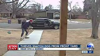 Thieves snatch dog from front yard - Video