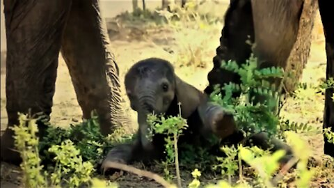 Baby elephant stumbles and falls, screams for help to get back up