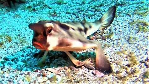Red-lipped batfish is one of the strangest fish in the ocean