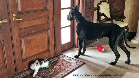 Great Dane Ignores Cat to Look out the Window and Do Yoga