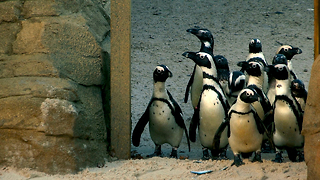 The Family Who Bought A Zoo: New Penguin Enclosure - Video