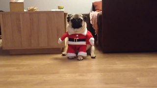 Santa Pug is coming to town! - Video