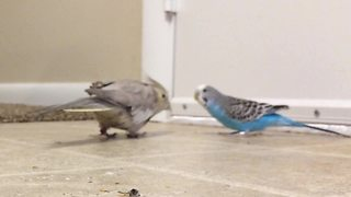 Cockatiel gives shy parakeet loving smooch - Video