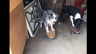 Eat Our Dust: Skateboarding Dogs Show Off Their Skills