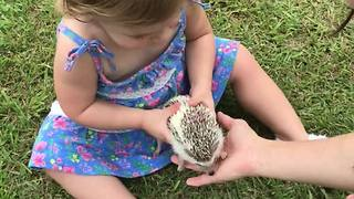 Fearless toddler plays with gentle hedgehog