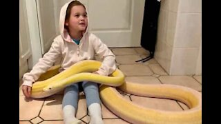 Girl plays with giant python on kitchen floor