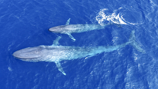First Ever Footage Of Blue Whale Calf Nursing: SNAPPED IN THE WILD - Video