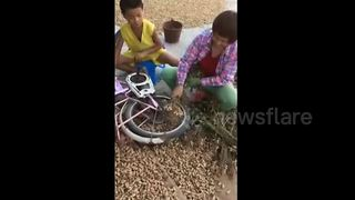 Woman uses bicycle to pick peanuts - Video